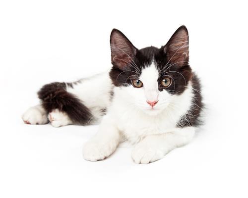 Beyaz siyah kediler