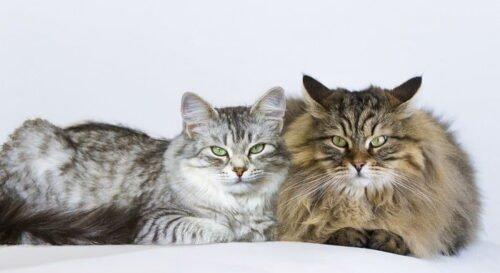 Beraber yaşayan kediler